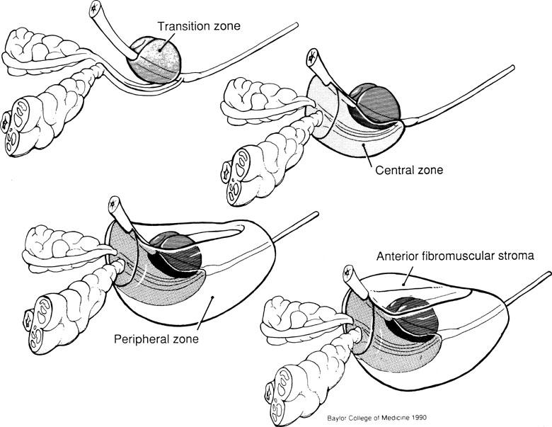SCGAP-UESC: Prostate Anatomy